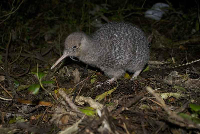 ニュージーランドの国鳥キーウィ