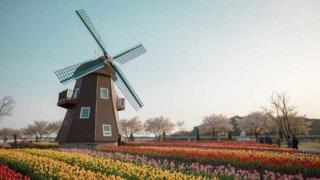 オランダの風車とチューリップの画像